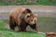 Bear walking Stock Photo