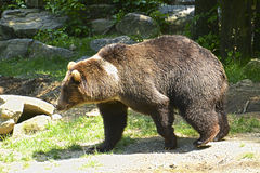 Bear walking Stock Photography
