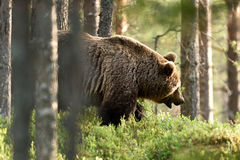 Bear walking Royalty Free Stock Photography