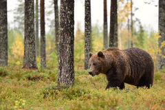 Bear walking in the forest Royalty Free Stock Photography