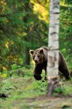 Bear walking in forest Royalty Free Stock Photo