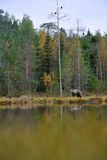 Bear walking near pond Stock Image