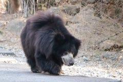 Bear walking on road royalty free stock image