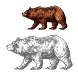 Bear animal sketch of walking brown grizzly. Bear walking sketch of brown grizzly. Wild predatory animal of walking or standing bear for forest wildlife and royalty free illustration