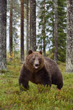 Bear walking tongue hanging out. In the forest Royalty Free Stock Image