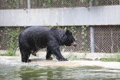 Bear walking up from water pool in zoo Royalty Free Stock Photo