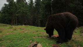 Bear Walks In The Forest stock footage