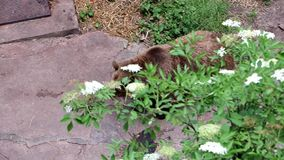 Bear walks in the moat of the castle Cesky Krumlov stock video