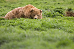 Bear watching from grass Royalty Free Stock Photography
