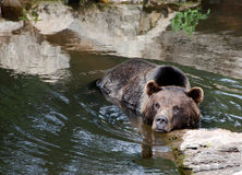 Bear In The Water. Bear relaxing in the water royalty free stock images