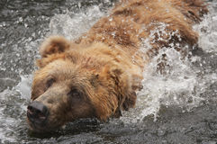 Bear in water Royalty Free Stock Image