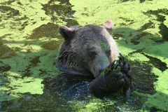 Bear in water Stock Images
