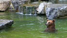 Bear in water Stock Photography