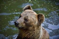 Bear in water Stock Photos
