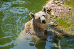 Bear in water Royalty Free Stock Photo