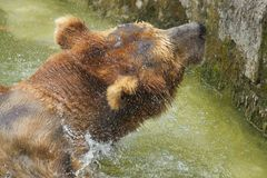 Bear in the water Stock Photo