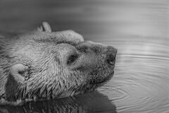 Bear on Water Stock Images
