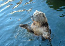 Bear in Water. A brown bear playing in water Royalty Free Stock Photography