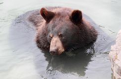 Bear in water Royalty Free Stock Photos