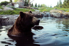 Bear in the Water Stock Photography