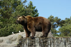 Bear on waterfall Stock Photo