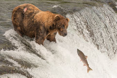 Bear on waterfall stares at jumping salmon Royalty Free Stock Images