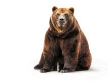 Bear on white. Sitting bear on a white background royalty free stock photo