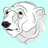 Bear white adult head face Royalty Free Stock Photography
