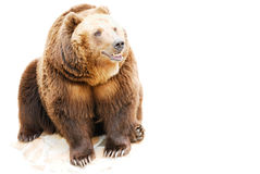 Bear on a white background. The grizzly bear sits on stones, is isolated on a white background Royalty Free Stock Photography