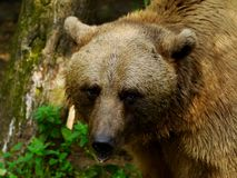 Bear in the wild Royalty Free Stock Photo