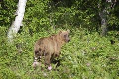 Bear in the wild, Kamchatka, Russia Stock Photo