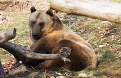 Bear in the wildlife park on a sunny day. Bear in the forest on a sunny day in the wildlife park in Budapest, Hungary Stock Photos