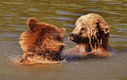Bear, Wildpark Poing, Play, Water Royalty Free Stock Photography