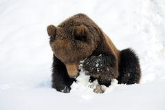Bear in winter Stock Photos