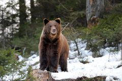 Bear in winter Royalty Free Stock Photos