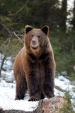 Bear in winter Stock Image