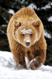 Bear in winter forest Royalty Free Stock Photos