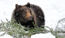 Bear in winter forest. Big brown bear in winter forest Stock Images