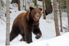 Bear in winter Stock Photography