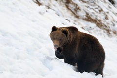 Bear in winter Royalty Free Stock Photo