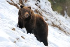 Bear in winter Stock Images
