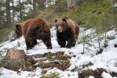 Bear in winter Royalty Free Stock Images