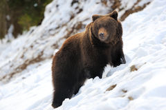 Bear in winter Royalty Free Stock Photography