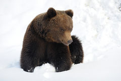 Bear in winter Stock Photo