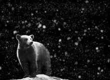 Bear winter portrait with dark and snow on the background Royalty Free Stock Photos
