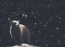 Bear winter portrait with dark and snow on the background Stock Images