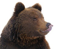 Bear in winter Royalty Free Stock Image
