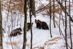 Bear bruin in the forest. Bear in winter time in the forest Royalty Free Stock Photos