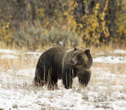 Bear  793 (Blondie) from Grand Teton in snow with direct stare t Stock Image
