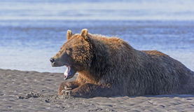 Bear Yawn after a Good Meal Royalty Free Stock Image